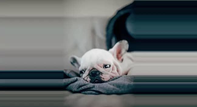 500 French Bulldog puppies were found on the flight in March (Credit: Unsplash)