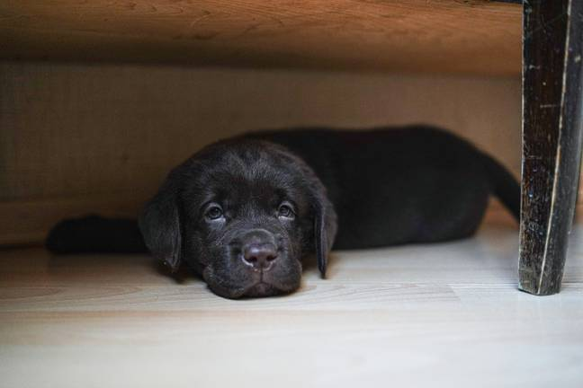 The rescue centre said it was seeing more and more puppies looking to be rehomed (Credit: Unsplash)