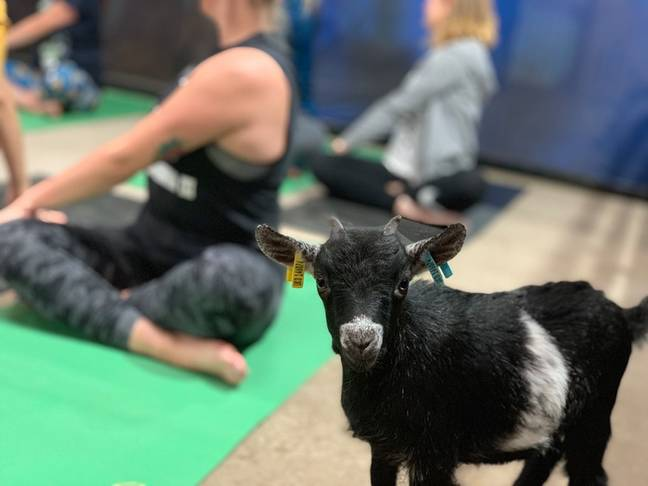 Polly Wiltshire set up the classes after finding her own goats loved to interact with her whilst she practised yoga (Credit: White Post Farm)