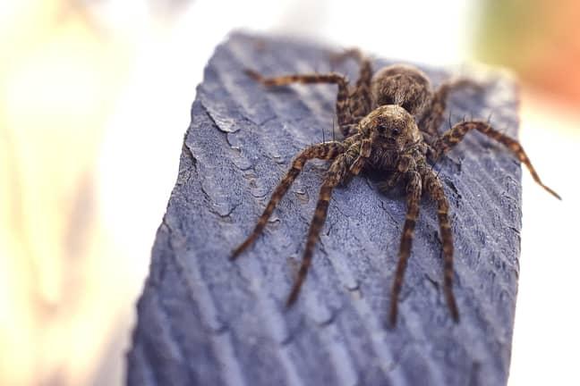 Huntsman spiders are very common in Australia (Credit: Unsplash)