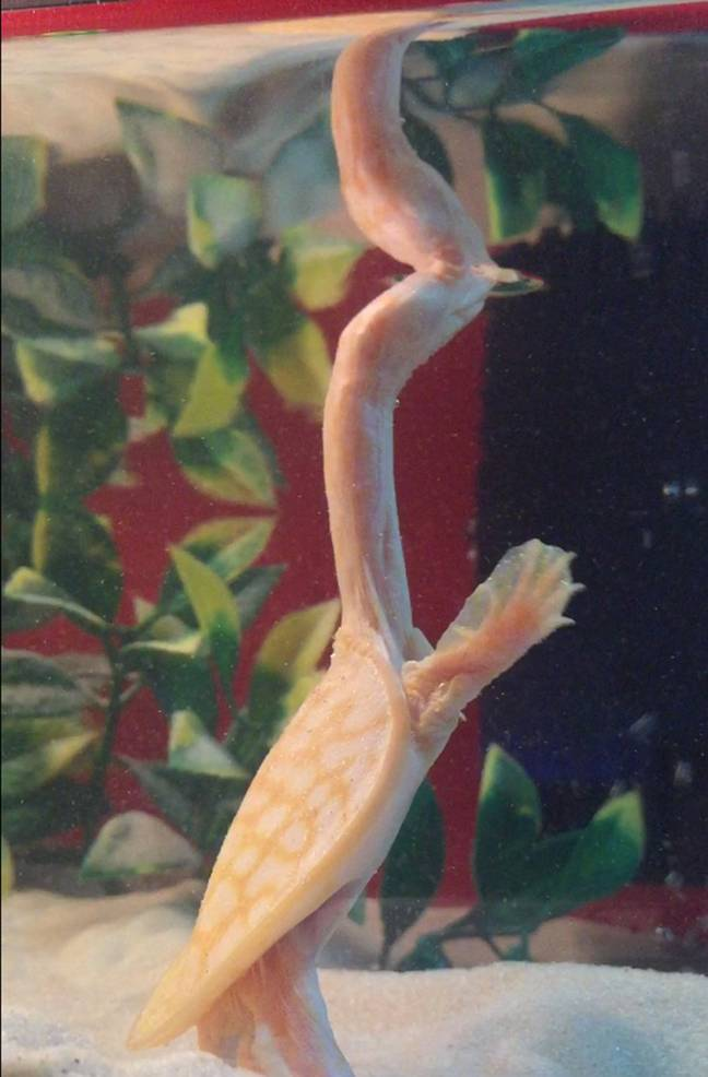 She is rare because she is albino but also her long neck. (Credit: Caters)