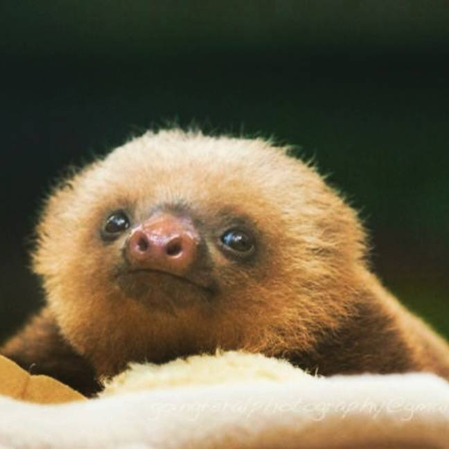 We plan on channelling the mighty sloth for the whole of the festive period. (Credit: Flickr)