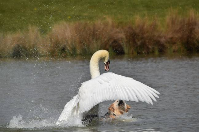 The swan lunged at the paddling dog (Credit: Kennedy News and Media)