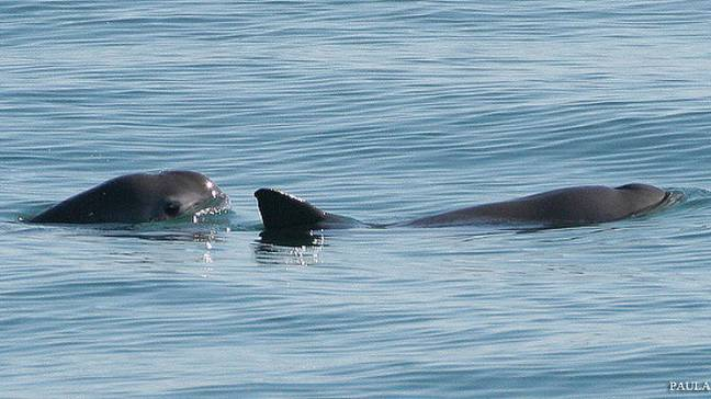 There are less than 30 Vaquita's left in the wild. (Credit: Paula Olson/NOAA/Wikimedia Commons)