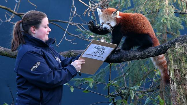 A trip to see the red pandas is first on the schedule (Credit: PA)