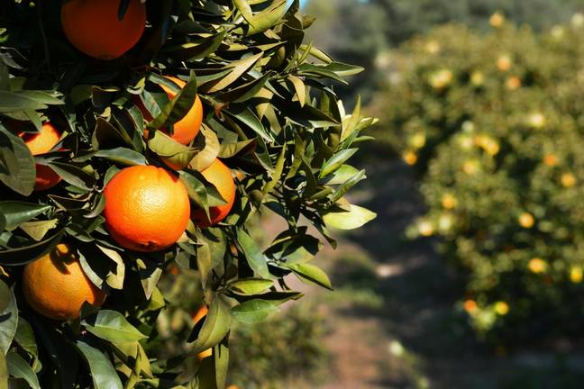 The town is dotted with orange groves (Credit: PXhere)