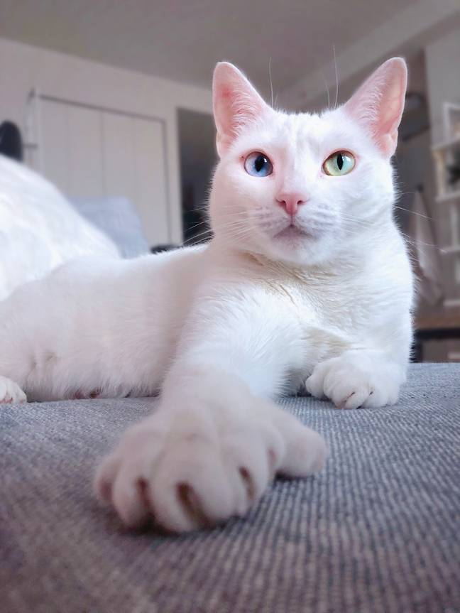 Snowy white Sansa was born with rare condition heterochromia (Credit: Caters)