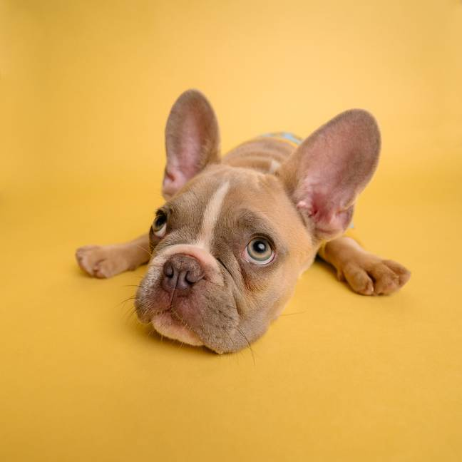 The French Bulldog is the UK's top dog breed (Credit: Unsplash)