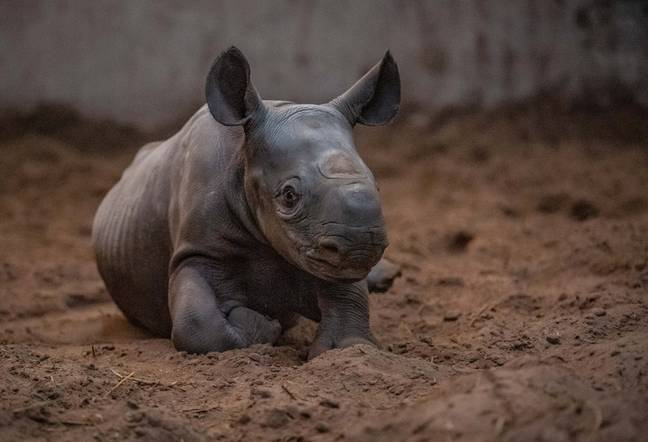 Conservationists at the zoo have said her arrival will be