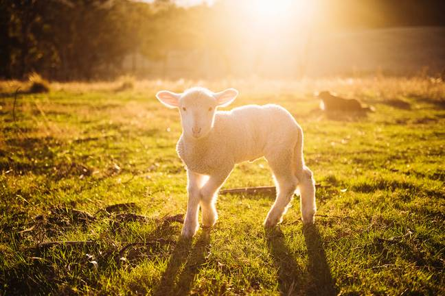 The RSPCA warn farm animals could also be distressed (Credit: Pexels)
