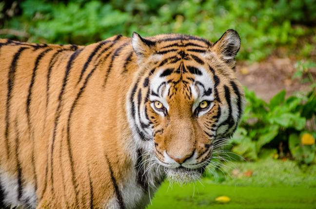 The tiger population in India has doubled in the last 12 years (Credit: Pexels)