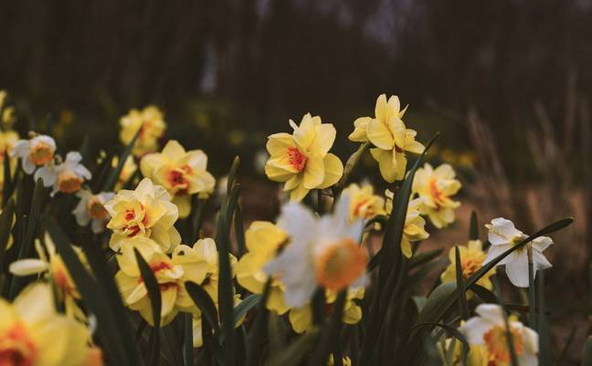 Surprisingly, daffodils are very toxic for dogs (Credit: Unsplash)