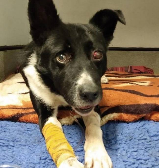 Jake took weeks to recover from his horrible injuries (Credit: Scottish SPCA)