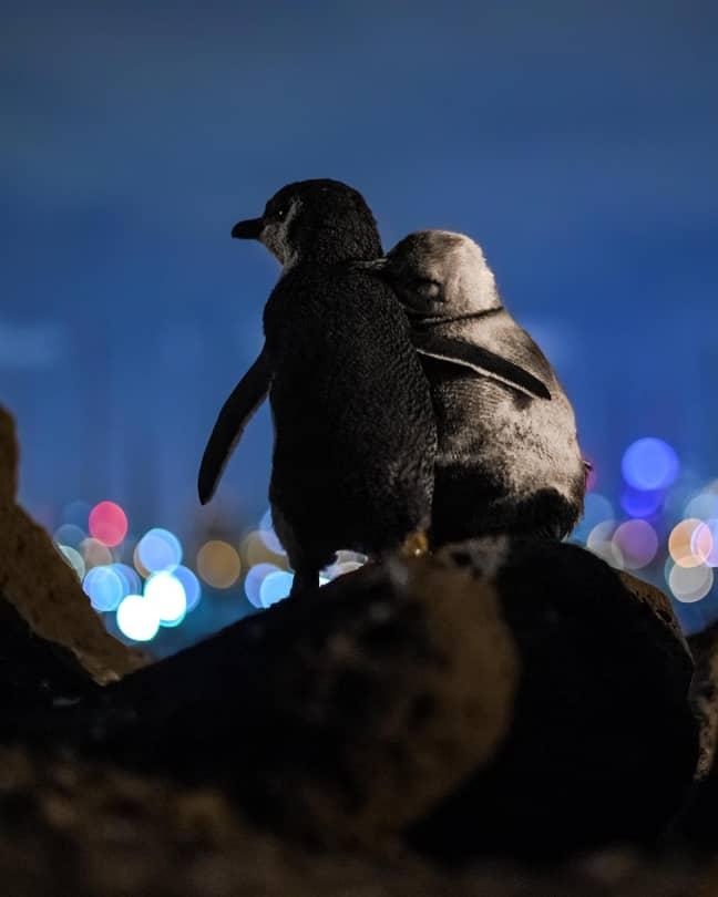 The penguins were snapped at at St Kilda Pier, Melbourne (Credit: Tobias Baumgaertner/Instagram - @tobiasvisuals)