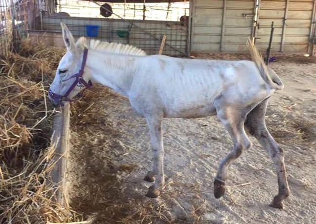 Donkeys are often injured or underfed when Lucy saves them (Credit: Caters)