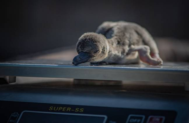 The highly threatened Humboldt penguins are usually found on the shores of Peru and Chile (Credit: Chester Zoo)