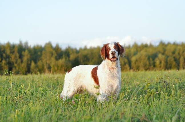Registrations for the Irish Red and White Setter are now up by 113 per cent (Credit: Shutterstock)