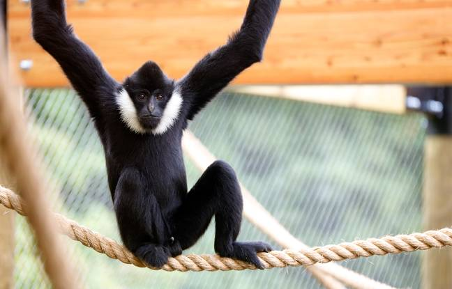 The poor gibbon is missing social interaction (Credit: Caters)