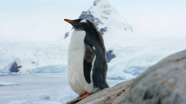 A young gentoo penguin in Antarctica will be shown in episode one. (Credit: BBC NHU)