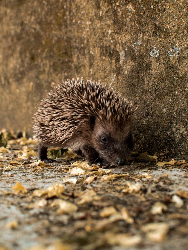Hedgehogs are at risk of getting caught in the houses (Credit: Unsplash)