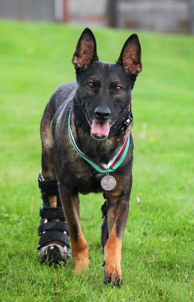 Kuno has been fitted with prosthetic limbs (Credit: PDSA)