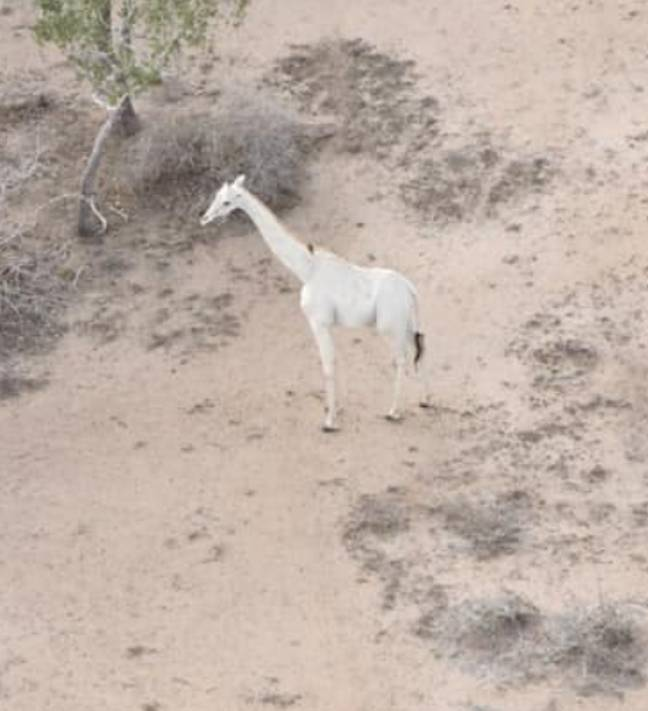 He is the last known white giraffe (Credit: Facebook/Ishaqbini-Hirola Community Conservancy)