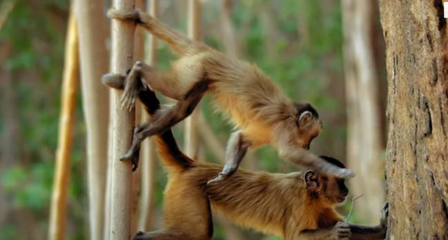This documentaries shows us monkeys like we've never seen them before (Credit: BBC)