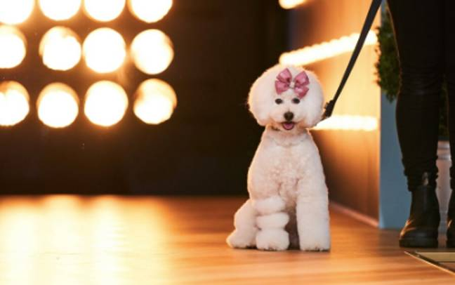 The dogs walk down the runway (Credit: Seven Network)