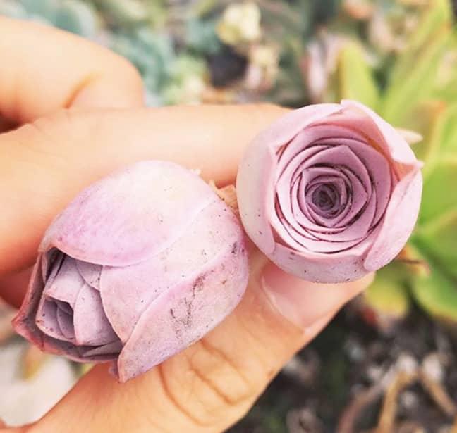 Credit: Instagram/ rare_succulent