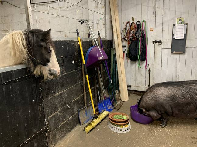 The two-year-old pig is being cared for at Peppers Field Equine & Poultry Rehabilitation Centre (Credit: SWNS)