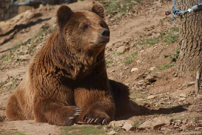 Brown bears aren't actually found in North Carolina, although black bears are (Credit: Pexels)
