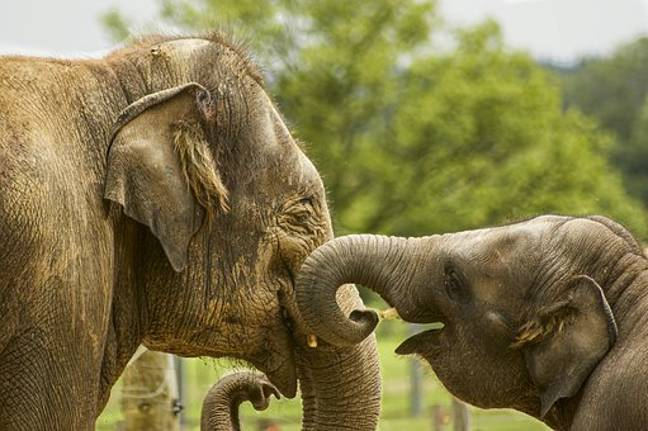 Elephants are known to be intelligent and highly social (Credit: Pixabay)