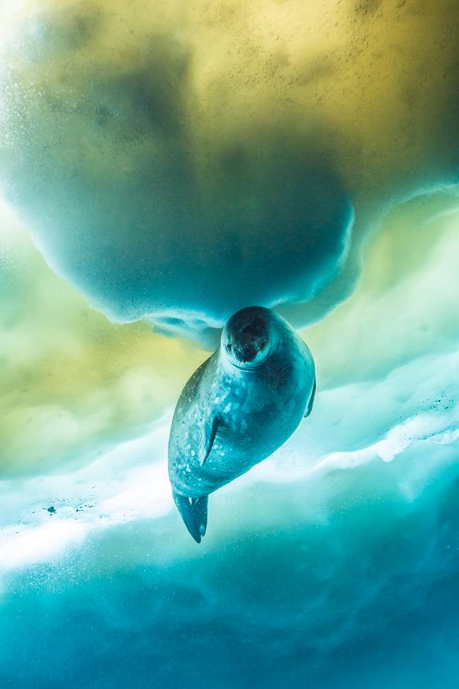 The Weddell seal was filmed for episode one in Antarctica. (Credit: BBC NHU/Espen Rekdal)
