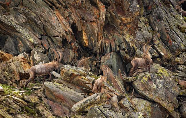 Andrea Zampatti's 'Alpine Revelation' (Credit: Wildlife Photographer of the Year)