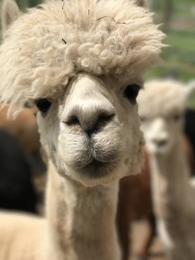 Cheddar is giving off alpaca vibes (Credit: Unsplash)