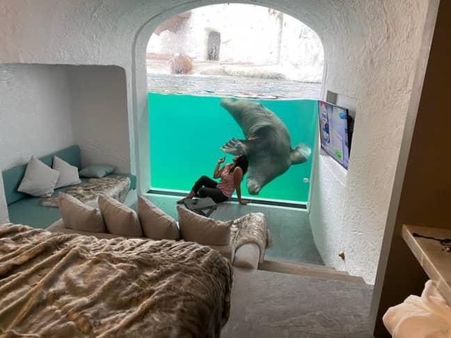 The Walrus House lets you sleep among the walrus (Credit: Pairi Daiza)