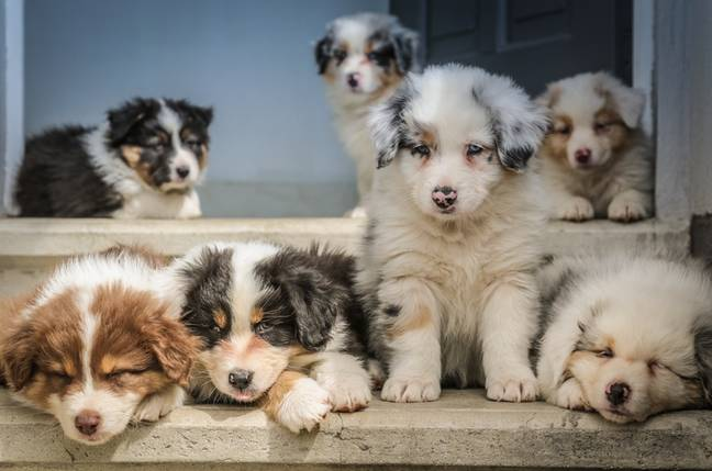 There may be a surplus of dogs put up for adoption post-lockdown (Credit: Unsplash)
