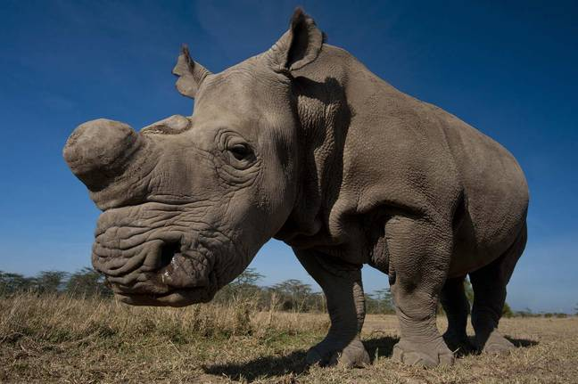 Saving the Survivors charity and BBC's Natural History unit are on the hunt in Sudan for Northern White Rhinos (Credit: PA)