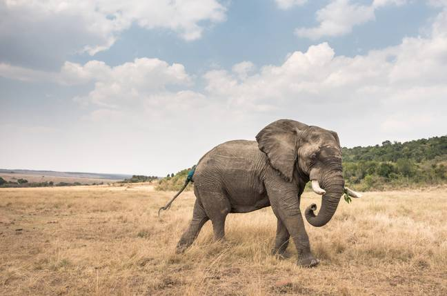 The elephant ended up back on its feet (Credit: Caters)