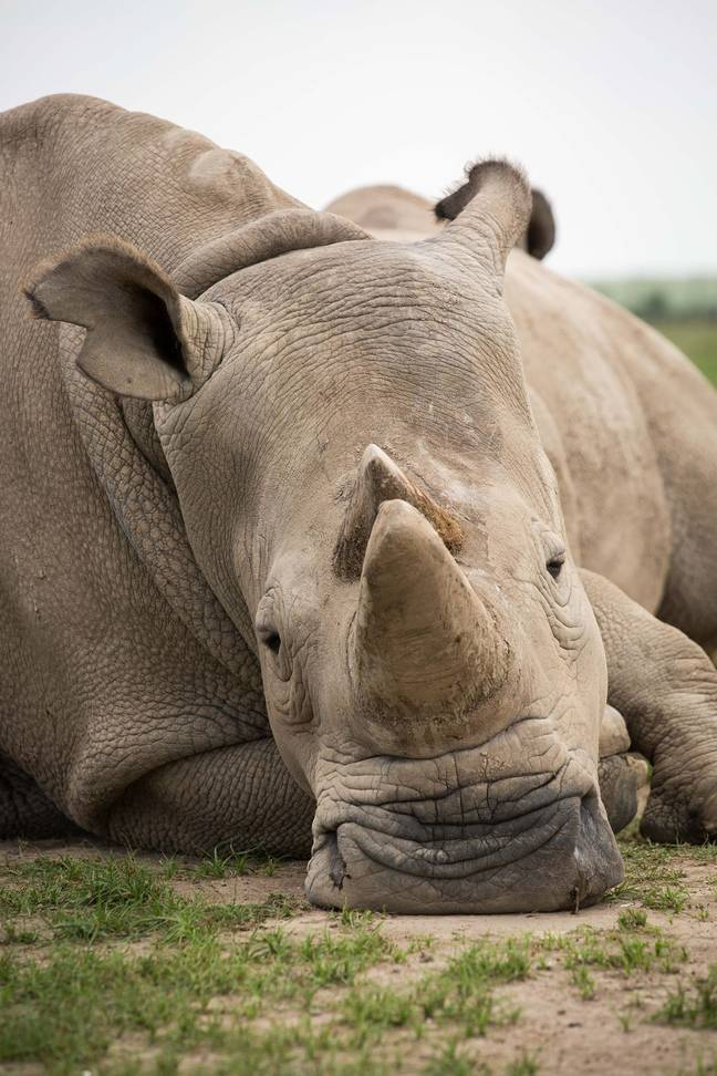 The white rhino was announced as extinct in 2018 (Credit: PA)