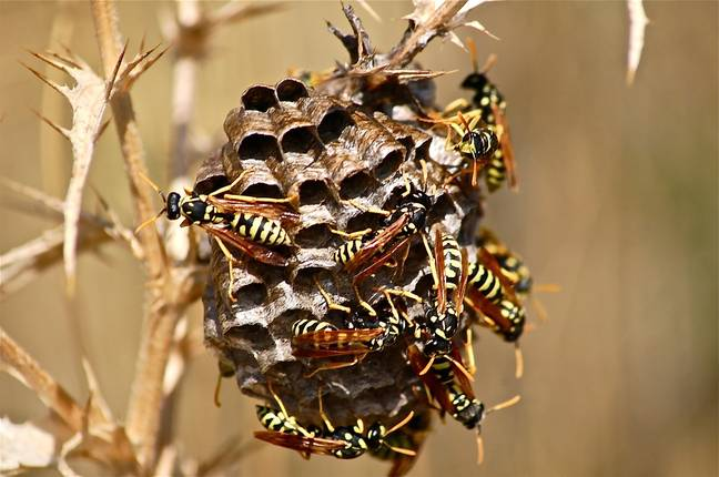 Killer hornets can eat up to 50 bees in a day (Credit: Pixabay)
