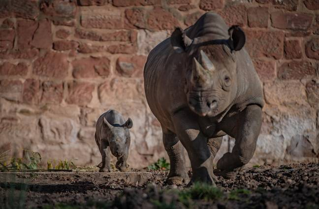 Zookeepers are now asking the public to help them decide on the name of the little rhino (Credit: SWNS)