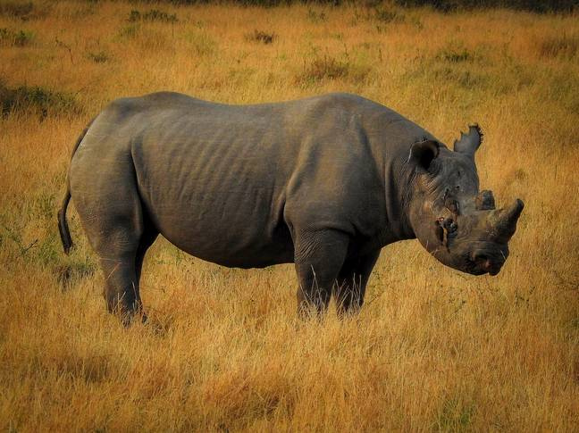 There is thought to be roughly 5,000 black rhinos still existing in the wild. Credit: Unsplash/ Ron Dauphin