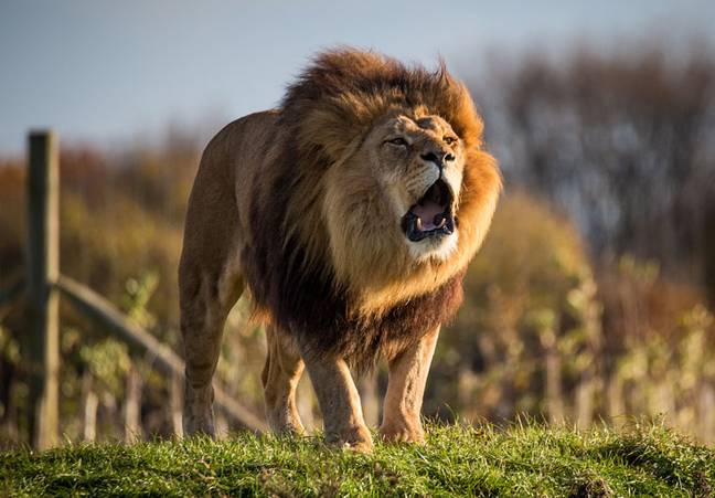 You'll camp close enough to hear the pride of lions roaring in the morning (Credit: Yorkshire Wildlife Park)