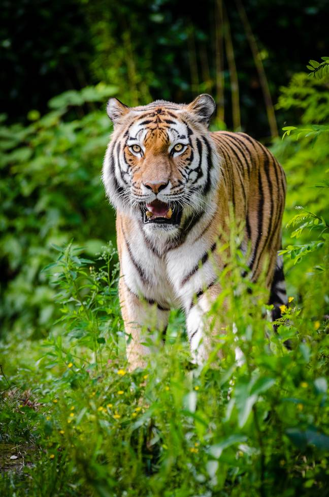 Madhya Pradesh has the largest number of tigers, totalling 526 (Credit: Pexels)