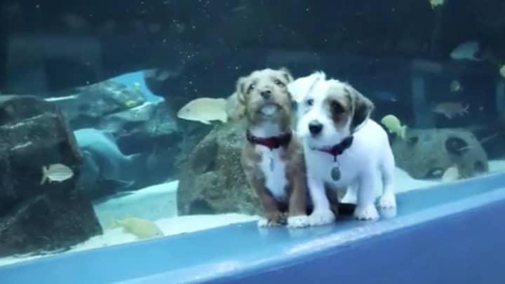 Watch These Adorable Puppies Explore An Aquarium