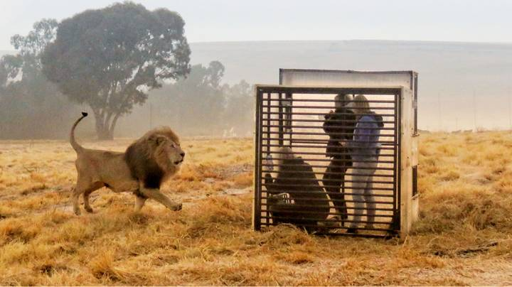 You Can Now Take Part In A Terrifying Lion Cage Experience