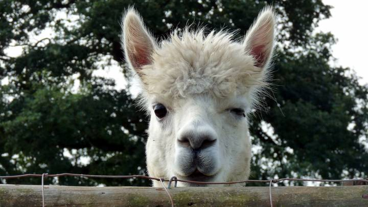 You Can Stay With Alpacas At This Gorgeous Irish Farm