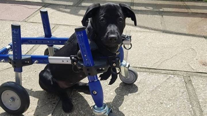 A Six-Legged Dog Is Having An Operation To Remove One Of Her Excess Limbs