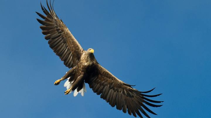 White-Tailed Eagles Returns To Skies For First Time In 240 Years
